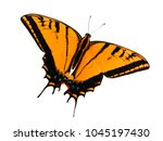 Small photo of Two-tailed swallowtail butterfly, Papilio multicaudata, isolated on white background. The largest of the US tiger sawllowtails, this one has even three tails on each wing. Color change to orange