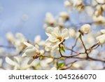 White Magnolia Flowering...