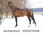 young brown stallion standing... | Shutterstock . vector #1045276546