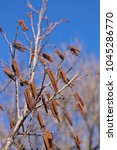 Small photo of European alder (Alnus glutinosa) catkin.