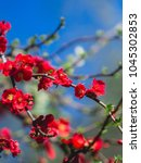 Spring Blossom. Red Flowers Of...