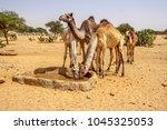 sudan  africa  camels drinking... | Shutterstock . vector #1045325053