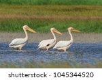 white pelicans  pelecanus... | Shutterstock . vector #1045344520