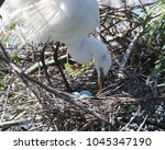 when an egret is brooding they...   Shutterstock . vector #1045347190