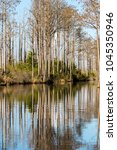 A forest of pond-cypress in the Okefenokee Swamp National Wildlife Refuge, Georgia