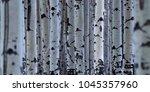 close up shot of aspen trees... | Shutterstock . vector #1045357960