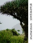 Small photo of Crone of dragon Tree on Santo Antao, Cape Verde Cabo Verde