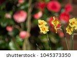 beautiful dafodil flowers