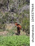 Small photo of Brumby watching while walking away, Snowy River Australia.
