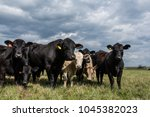 black angus bull standing with... | Shutterstock . vector #1045382023