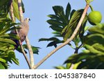 pacific imperial pigeon sit on... | Shutterstock . vector #1045387840