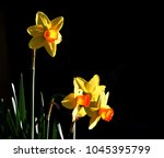 early spring daffodils in...   Shutterstock . vector #1045395799