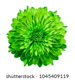 Chrysanthemum  Green. Flower O...