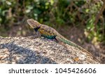 spiny lizard hanging out in the ... | Shutterstock . vector #1045426606