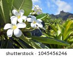 plumeria flowers grows in... | Shutterstock . vector #1045456246