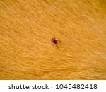 brown dog tick on the fur. ... | Shutterstock . vector #1045482418