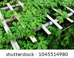bitter melon or momordica... | Shutterstock . vector #1045514980
