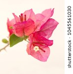 bougainvillea plant with red... | Shutterstock . vector #1045561030