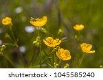 beautiful springtime buttercups ... | Shutterstock . vector #1045585240