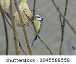 Eurasian Bluetit  Cyanistes...