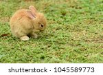Stock photo cute rabbit brown and white rabbit mother and baby walking in the lawn little rabbits are 1045589773