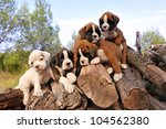 Stock photo five purebred puppies boxer on the wood 104562380