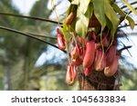 flower nepenthes  predatory... | Shutterstock . vector #1045633834
