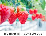 fresh strawberries that are... | Shutterstock . vector #1045698373