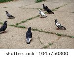 Pigeons On Pavement In City...