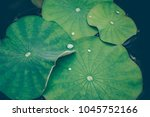 lotus leaves with drops of...   Shutterstock . vector #1045752166