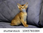 beautiful abyssinian kittens | Shutterstock . vector #1045783384