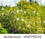 sweet peas  lathyrus odoratus ...   Shutterstock . vector #1045790233