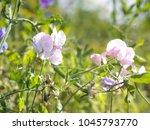 pale pink flowers sweet pea ...   Shutterstock . vector #1045793770