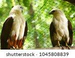 brahminy kite  a subspecies of... | Shutterstock . vector #1045808839