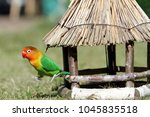 Small photo of Lovebird, Agapornis, Parrot, little cute baby pet, exotic bird from Namibia, Africa