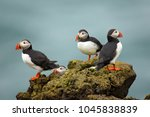 Atlantic puffin   also known as ...