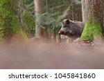 the wild boar  sus scrofa  ... | Shutterstock . vector #1045841860