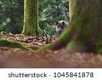 the wild boar  sus scrofa  ... | Shutterstock . vector #1045841878