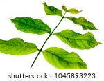 close up of an small branch of... | Shutterstock . vector #1045893223