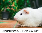 Cute Guinea Pig Eating Grass ....