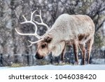 Portrait of a feeding caribou in winter during snowfall, Canada