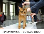 somali cat stands on a table ... | Shutterstock . vector #1046081800