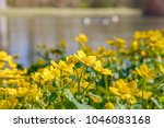 blooming caltha palustris ... | Shutterstock . vector #1046083168