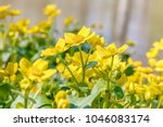 blooming caltha palustris ... | Shutterstock . vector #1046083174