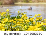 blooming caltha palustris ... | Shutterstock . vector #1046083180