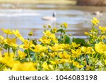 blooming caltha palustris ... | Shutterstock . vector #1046083198