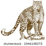 Stock vector vector antique engraving drawing illustration of leopard isolated on white background 1046148373