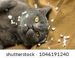 Gray British Cat Lying On His...