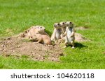 Family Of Prairie Dogs
