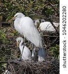 egret with beautiful breeding...   Shutterstock . vector #1046202280
